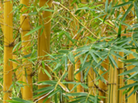 Is It Feasible to Produce Bamboo into Fuel Pellets